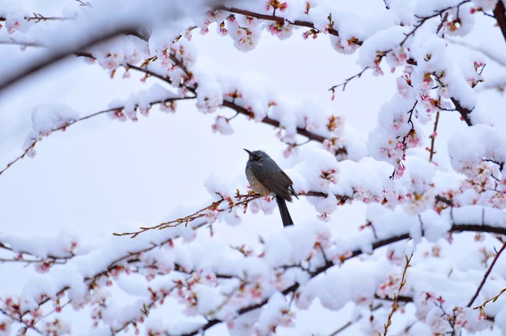 snow_cherry